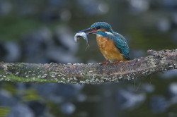 Zimorodek, Alcedo, atthis, Common, Kingfisher, ptaki, birds